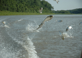 Asian Carp Jumping in Boat Wake