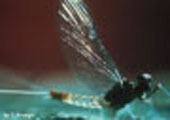 Mayfly, Adult